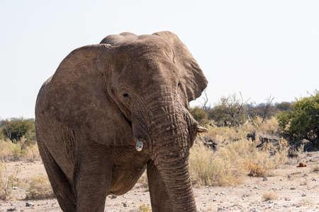 African Elephant Walking in the Dry Savanna, Etosha National Park, Namibia Zdjęcie Seryjne