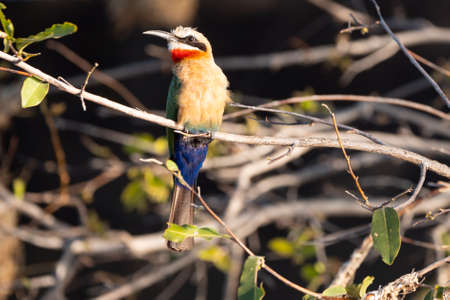 African Bee Eater Bird Sitting on a Twig at Okawango River, Namibia, Africa Zdjęcie Seryjne