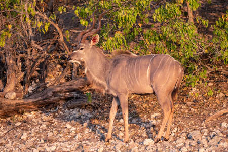 Male Kudu Buck with Spiral Horns at Dusk in Chobe National Park