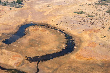 Aerial of Buffalo Herd on a Dry, Yellow Plain with Dark Blue River in Moremi Game Reserve, Okvango Delta,  Botswana