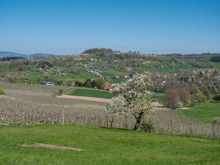 Rural Landscape with Cherry Tree in Full Bloom in Scharten