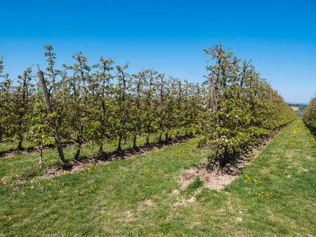 Apple Plantation in full Bloom near Scharten, Austria - Rows of small Apple Trees