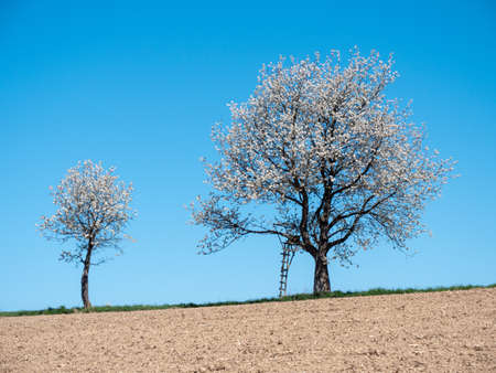Two Cherry Trees in Full Bloom in a Field at the Scharten Cherry Blossom Hiking Trail, Upper Austria