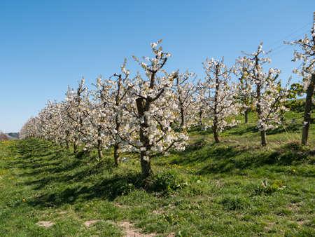 Cherry Plantation in Full Bloom on the Scharten Kirschbluetenwanderweg (Scharten Cherry Blossom Hiking Trail) in Upper Austria Zdjęcie Seryjne
