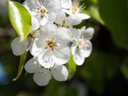 White Cherry Blossom Close Up