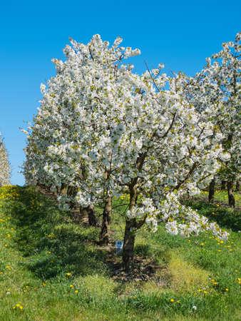 Cherry Plantation Covered with White Blossoms on the Scharten Kirschbluetenwanderweg (Scharten Cherry Blossom Hiking Trail)