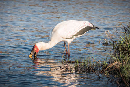 Yellow-Billed Stork Wading and Fishing in the River in Chobe National Park, Botswana