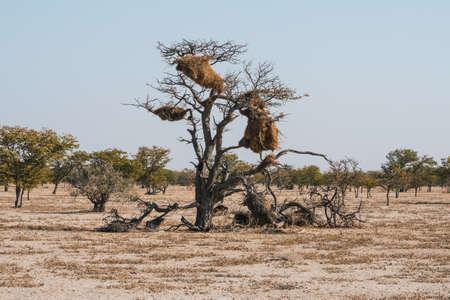 Nido de un pájaro tejedor social en un árbol en un paisaje de sabana africana en el Parque Nacional de Etosha, Namibia, África