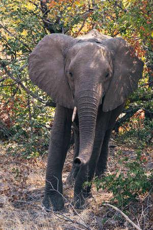 African Elephant Standing in the Bush, Moremi Game Reserve, Okavango Delta, Botswana Zdjęcie Seryjne