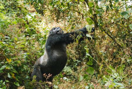 Impressive Mountain Gorilla standing up and stretching in Dense Jungle, Bwindi  Impenetrable National Park, Uganda Zdjęcie Seryjne