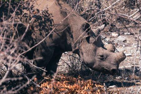 Dehorned Rhino or Rhinoceros Standing in the Dry Bush in Etosha National Park, Namibia, Africa Zdjęcie Seryjne