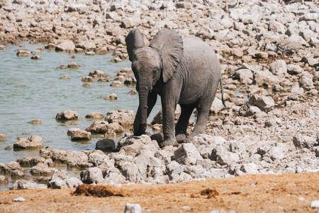Baby Elephant Calf Drinking at Okaukuejo Waterhole in Etosha National Park, Namibia, Africa