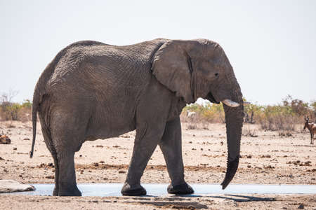 Rogue, Male Elephant Bull Standing at Tobiroen Waterhole in Etosha National Park, Namibia, Africa in the Dry Season