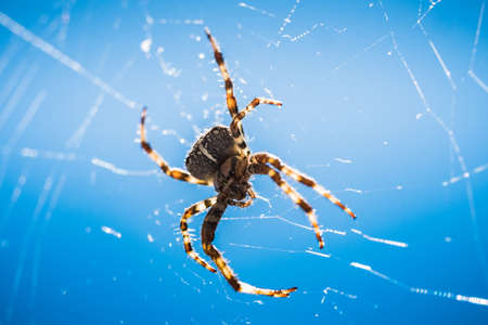 European garden spider, close up in its web against Blue Sky
