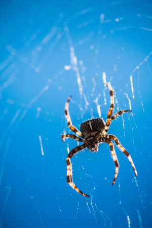 Scary, Creepy Spider in its Web in the Glaring Sun, Cross Spider or European Garden Spider against Blue Sky, a Concept for Danger, Fear and Arachnophobia