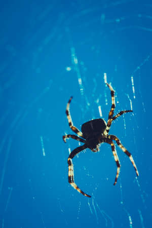 Scary, Creepy Spider in its Web Silhouette, Cross Spider or European Garden Spider against Blue Sky, a Concept for Danger, Fear and Arachnophobia