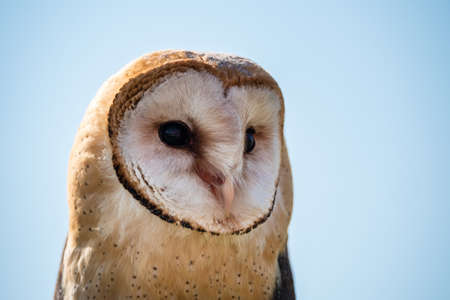Common Barn Owl Tyto alba Close Up Portrait of the Head and Face Reklamní fotografie