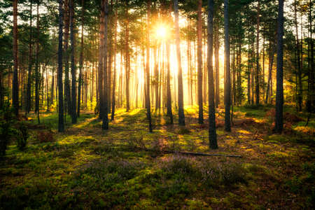Sun beams shines in pine forest just after sunrise