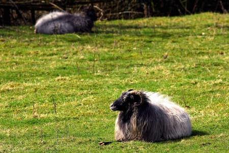 oneself: Ram warm oneself on sun at pasture. Summer sunny day. Stock Photo