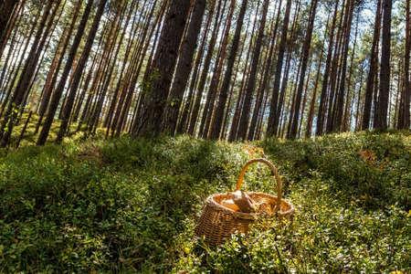 포리스트의 녹색 잔디에 바구니에 거짓말을 포리스트 그냥 모아 큰 버섯.