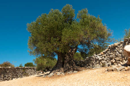 Olive Gardens of Lun with thousands of years old olive trees, island of Pag. One of the oldest (1600 years old) olive tree in Lun, island Pag, Croatia