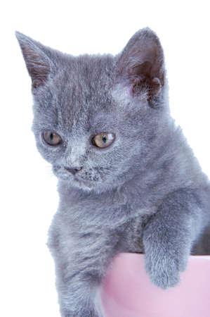 scottish straight: Scottish straight kitten sitting in pink bowl isolated on white