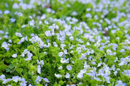 Little blue spring flowers growing in the field