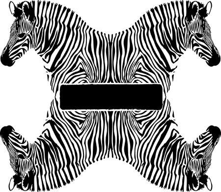 Black and white Zebra on white background photo