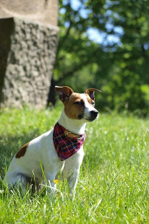 JACK RUSSELL TERRIER on grass Stock Photo