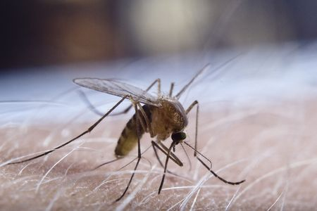 Mosquito  working on human skin