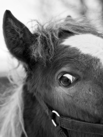 Black and white portrait of horse head with big eyes
