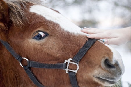 A closeup portrait of the head of a beautiful brown horse photo