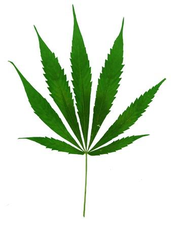 marihuana leaf on white background photo