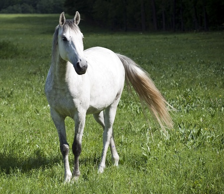 fast horse: big white horse near forest