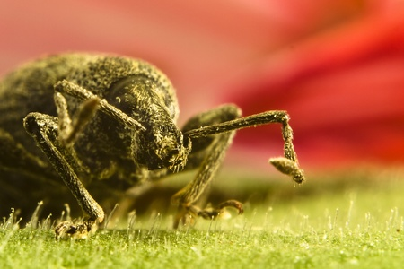 curculionidae: Close-up of beetle on leaf Stock Photo