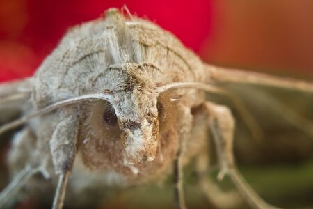 incubus: Moth close-up with color background and flower Stock Photo