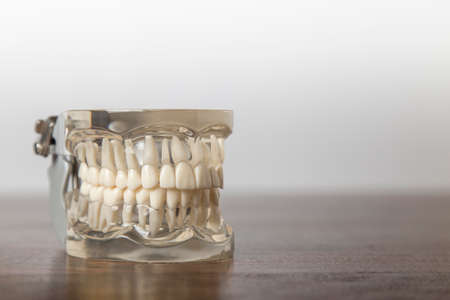 teaching aid: Set of human teeth in model with clear gums for use as a teaching aid for dentistry students Stock Photo