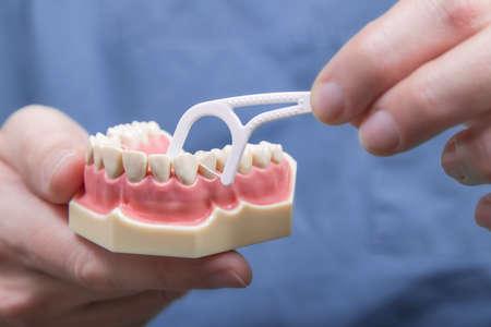 molares: Cierre de las manos del instructor dentales que demuestran c�mo limpiar entre los dientes con hilo dental en el modelo de las enc�as humanos Foto de archivo