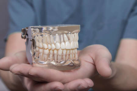 molars: Cerca de la mano que sostiene el molde de pl�stico transparente con un conjunto completo de dientes humanos utilizados para la ense�anza de la odontolog�a