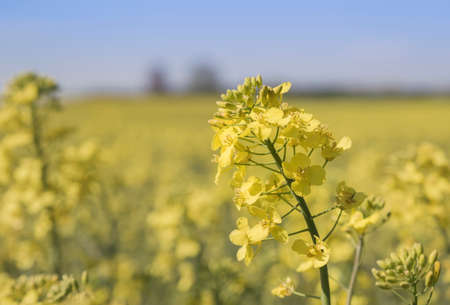 rapaseed: Close up detail of a yellow rape flower, Brassica napus, also known as rapaseed, canola and colza, grown for its seeds rich in oil for use as animal fodder, as a vegetable oil for cooking and biofuel