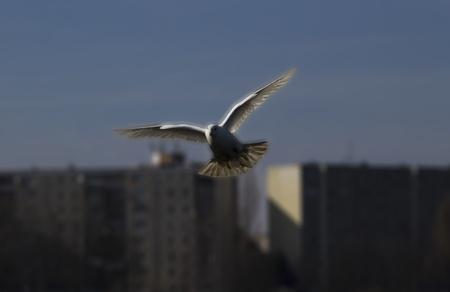 létání bílá holubice