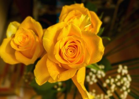 Žlutá růže květ
