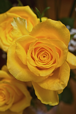Detail yellow rose