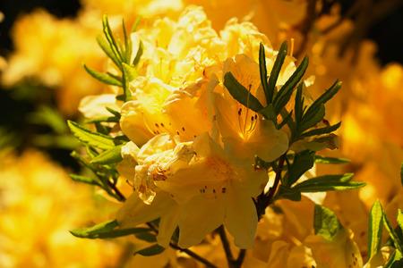 žlutý květ Rhododendron