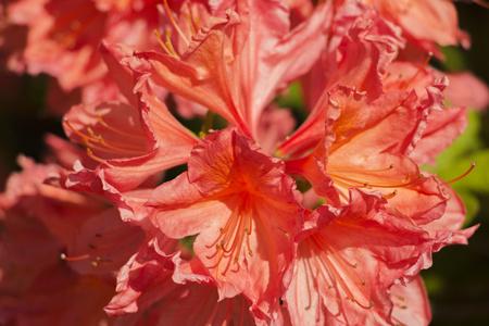 červený květ Rhododendron