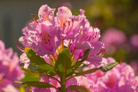 fialový květ Rhododendron