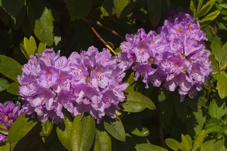 Tři fialové rododendron květy a listy na pozadí