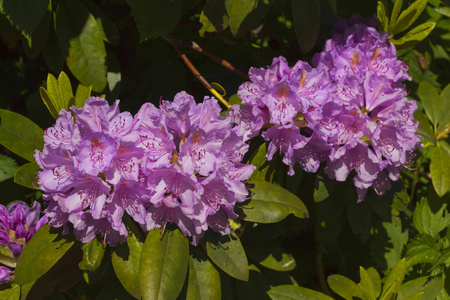 three purple rhododendron flowers and leaves background Reklamní fotografie - 41076326