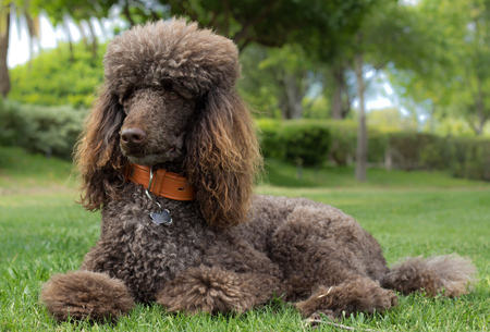 Portrait of a standard poodle laying in grass - Stock photo 写真素材