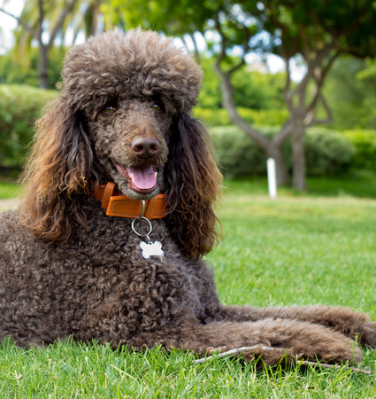 Close-up portrait of a standard poodle - Stock photo 写真素材